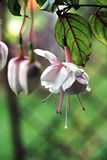 Fuchsia Flower, pink and white Royalty Free Stock Photography