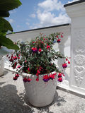 Fuchsia. In a flower pot in the yard Royalty Free Stock Photography