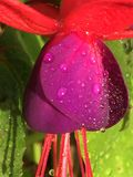 Fuchsia. Flower fuchsia red violet color stock photography
