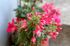 Fuchsia flowering plant growing as tree with dense mostly closed dark pink flowers surrounded with small leaves. On grey wall background royalty free stock images