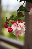 Fuchsia flowers Royalty Free Stock Photography