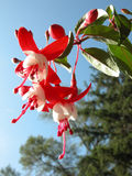 Fuchsia Flowers Stock Photography
