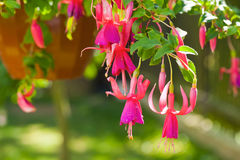 Fuchsia flowers. Beautiful fuchsia flowers hanging from the pot. Shallow DOF royalty free stock photo