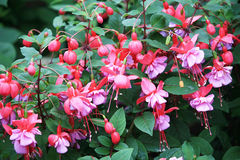 Fuchsia flowers. Beautiful fuchsia flowers hanging from a stem stock images