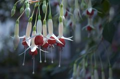 Fuchsia flowers. Beautiful fuchsia flowers hanging from a stem stock photography