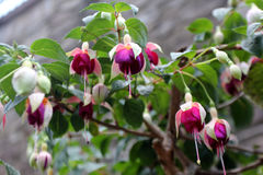 Fuchsia flowers. Beautiful pink fuchsia flowers, outdoor Royalty Free Stock Image