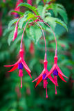 Fuchsia flowers Royalty Free Stock Images
