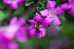 Fuchsia Flowers and Bee. Fuchsia flowers with due one them in a cluster of other flowers and a bee getting some pollen Royalty Free Stock Photos