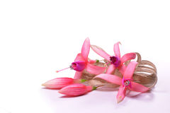 Fuchsia flowers with a beige bow Stock Photos