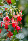 Fuchsia flowers blooming Royalty Free Stock Photos