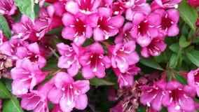 Fuchsia flowers Royalty Free Stock Photo