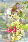 Fuchsia flowers brunch. On green leaves background royalty free stock photos