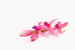 Fuchsia flowers with buds Stock Photography