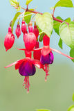 Fuchsia flowers Royalty Free Stock Photo