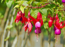 Fuchsia flowers. Close up of red purple fuchsia flower in botanical garden royalty free stock image