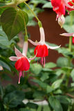 Fuchsia flowers. The close-up of red Fuchsia flowers. Scientific name: Fuchsia hybrida stock photo