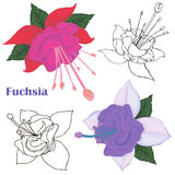 Fuchsia flowers. Stock Photos