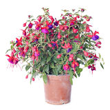 Fuchsia. Flowers in front of white background Royalty Free Stock Photo