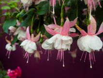 Fuchsia flowers. In the park royalty free stock photo