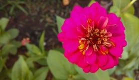 Fuchsia flowers in garden Royalty Free Stock Photo