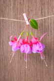 Fuchsia flowers handing on rope with clothespin on wooden backgr Stock Images