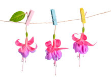 Fuchsia flowers handing on rope with colorful clothespin is isol Royalty Free Stock Photography