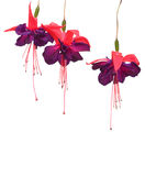 Fuchsia flowers isolated Royalty Free Stock Photography