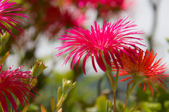 Fuchsia flowers Royalty Free Stock Image