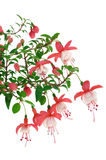 Fuchsia flowers over white background Royalty Free Stock Photo