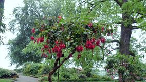 Fuchsia flowers on the tree Camera movement makes it possible to see the flower on all sides.  stock footage