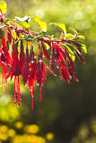Fuchsia flowers with waterdrops Royalty Free Stock Photos