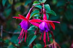 Fuchsia flowers Royalty Free Stock Image