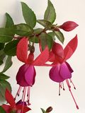 Fuchsia flowers on white background Stock Photo