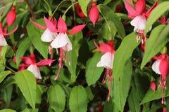 Fuchsia Fuchsia hybrida Royalty Free Stock Images