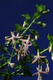 Fuchsia Stock Photo