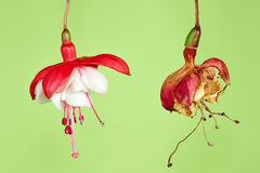 Fuchsia on green background. Fresh and withered fuchsia on green background Royalty Free Stock Images