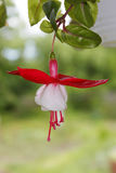 Fuchsia Hybrida beautiful decorative flower. Very beautiful decorative tropical flower with white petals and red sepals, named Fuchsia Hybrida. Te plant is in royalty free stock photo