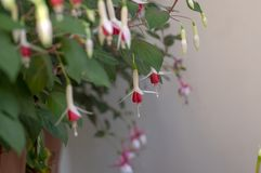 Fuchsia hybrida celia smedley white red flowering plant, group of beautiful ornamental pot flowers in bloom. Group of flowers stock image