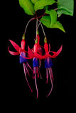 3 fuchsia in Kleur Stock Foto