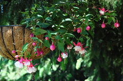 Fuchsia. Known same as earring is permanent, perennial plant royalty free stock image