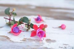Fuchsia lena flower Stock Image