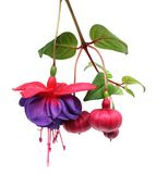 Fuchsia lena flower Royalty Free Stock Photography