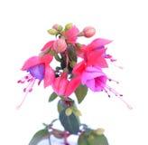 Fuchsia lena flower Royalty Free Stock Photos