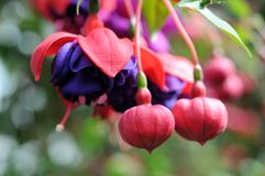 Fuchsia lena flower. In garden royalty free stock photos