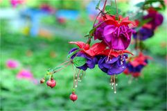 Fuchsia lena Royalty Free Stock Photography