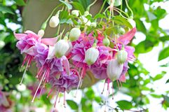 Fuchsia lena flower Royalty Free Stock Photo