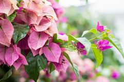 Fuchsia Lesser Bougainvillea or Paperflower, Bougainvillea Glabra, plant of Nyctaginaceae family native to Brazil. Fuchsia Lesser Bougainvillea or Paperflower royalty free stock photography
