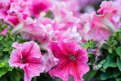 Fuchsia lilac purple petunias Stock Photo