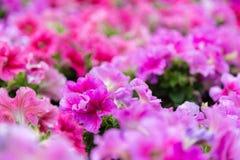 Fuchsia lilac purple petunias Royalty Free Stock Photo