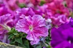 Fuchsia lilac purple petunias Stock Image